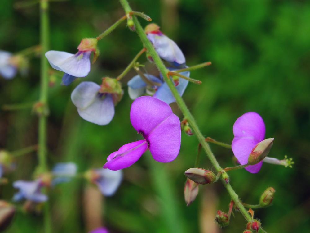 Photo in Macro #flower #wildflower #purple #macro #nature