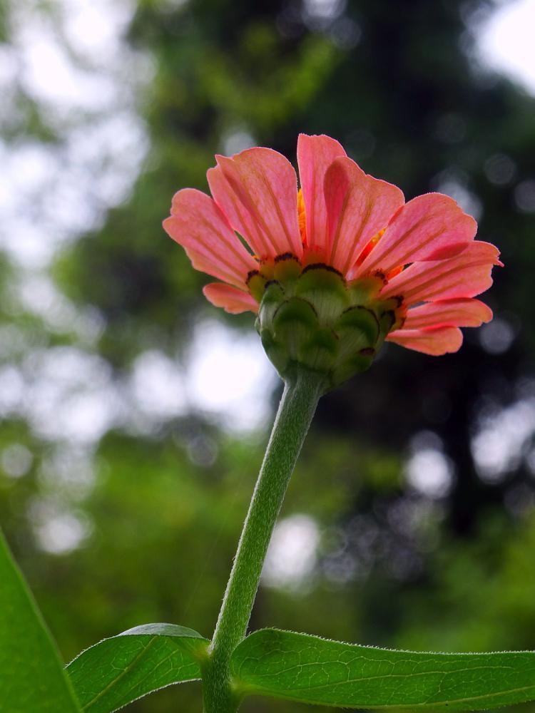 Photo in Nature #zinnia #flower #nature