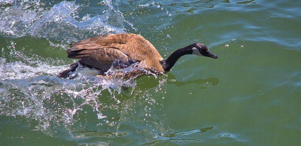 Photo in Animal #goos #canadian goose #water #river #splash #bird #speeding