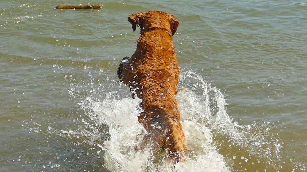 Photo in Animal #dog #river #retriever #golden retriever #splash #canine #water #wood #log #fetch #mission