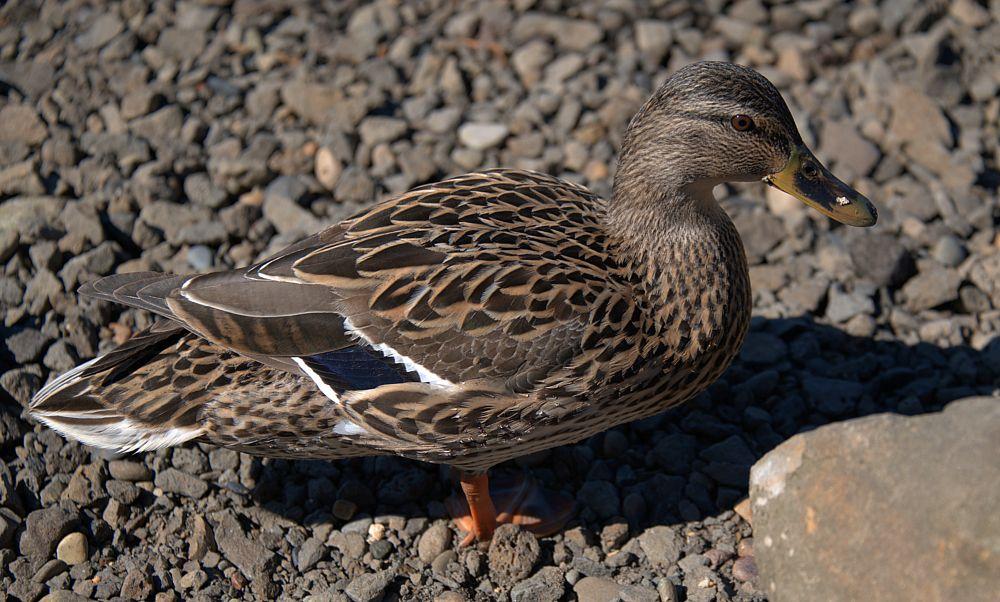 Photo in Animal #duck #feathers #plumage #female #bird
