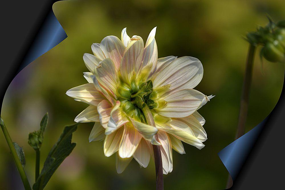 Photo in Nature #flower #beauty #roll #scroll #bokeh #pretty #petals #stem
