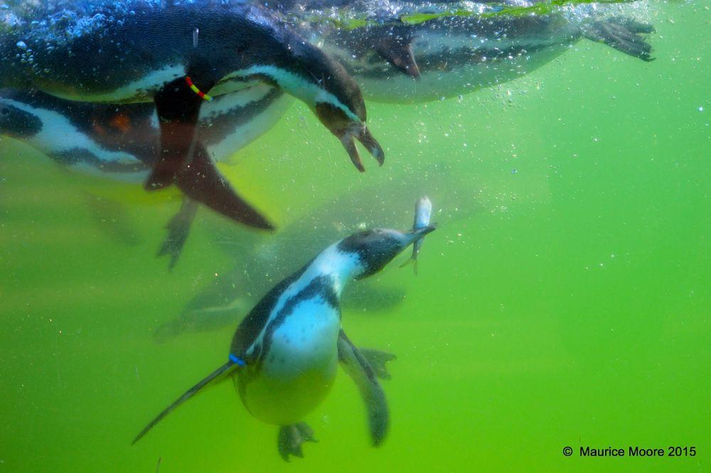 Photo in Animal #penguin #humboldt penguin #humboldt #animal #wildlife #nature #birdland