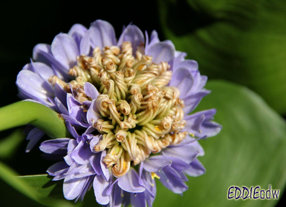 Photo in Macro #heartleaf false pickerelweed #箭叶雨久花 #pontederiaceae #canon eos 550d #macro #canon ef-s 18-135 mm f/3.5-5.6 #eddiecdw