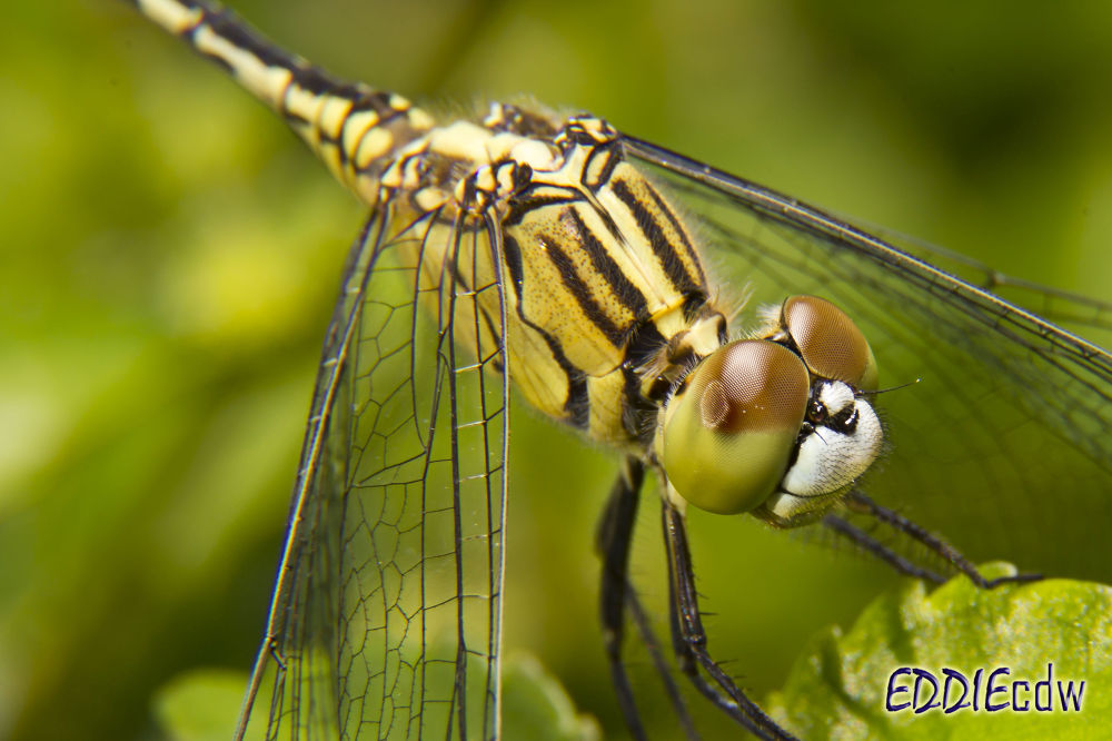 Photo in Macro #dragonfly #insect #macro #eddiecdw #canon eos 550d #canon ef-s 18-135 mm f/3.5-5.6