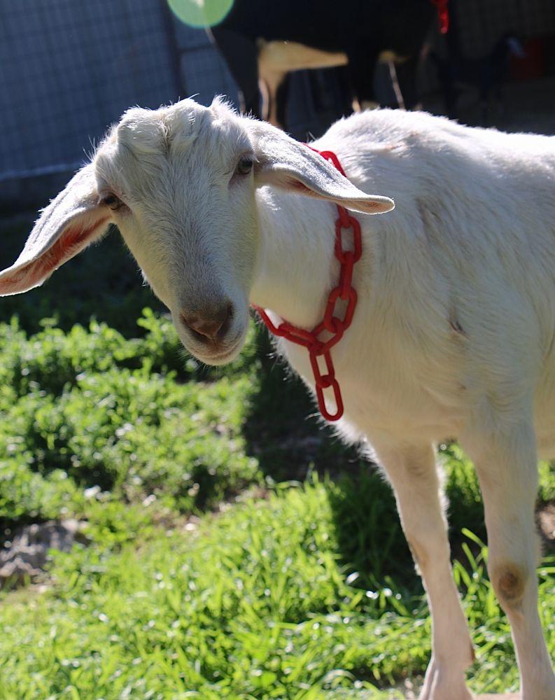 Photo in Random #goat #animal