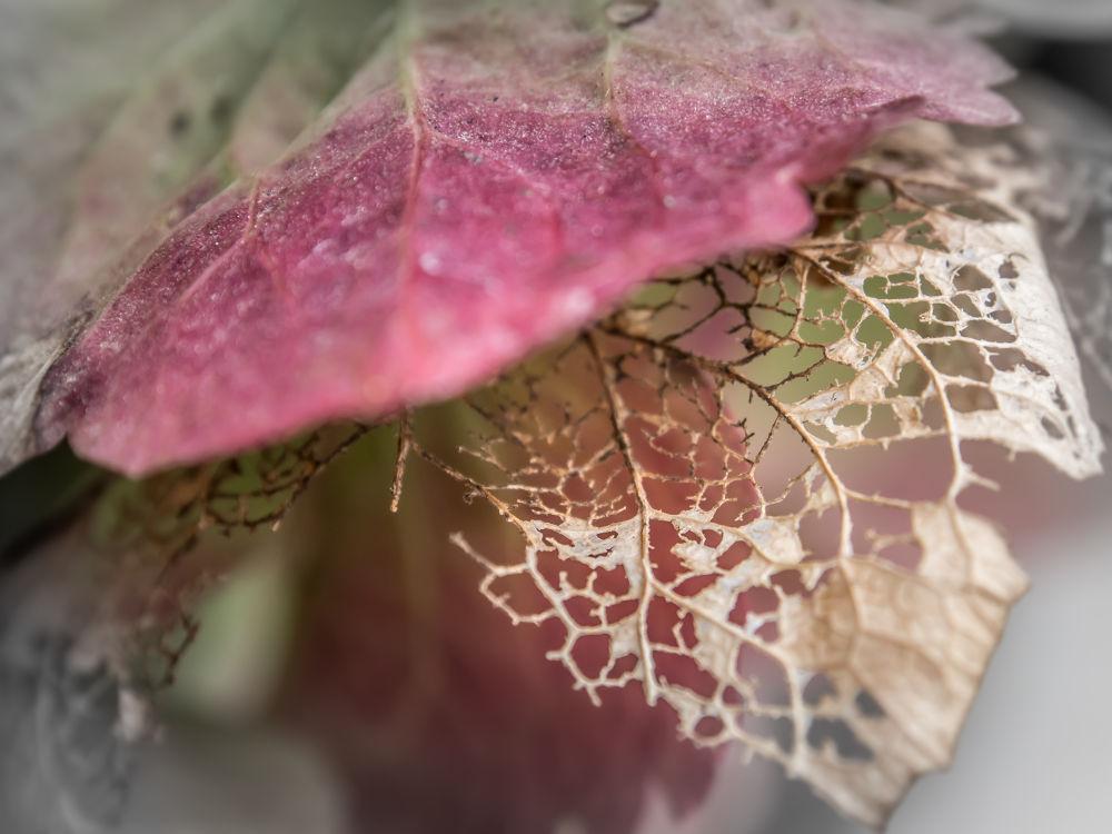 Photo in Random #nature #leaf #pink #perforation