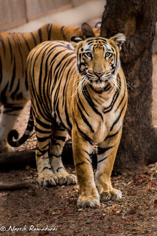 Photo in Animal #the royal bengal tiger #tiger #dream lenz #naresh ramadurai #zoo #india #hyderabad