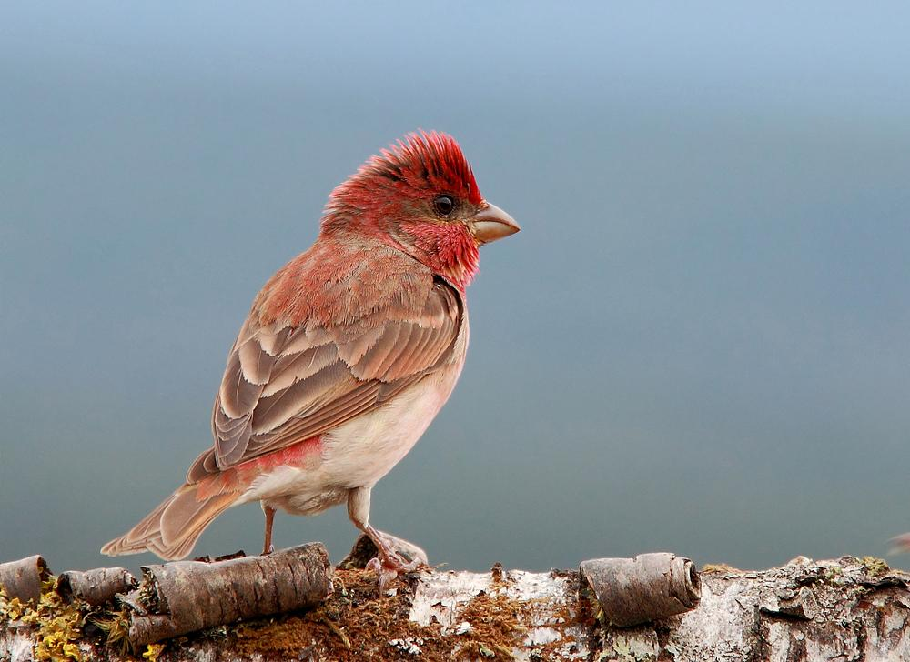 Photo in Architecture #common rosefinch. #bird #birds #norway #canon