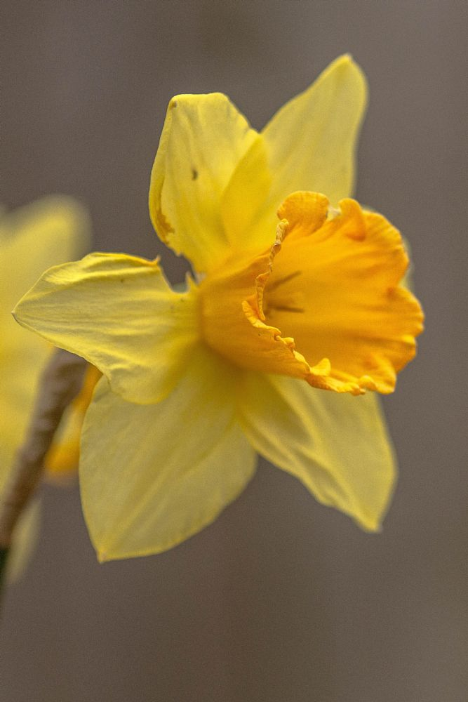 Photo in Nature #spring #daffodil #flower #garden #closeup #yellow