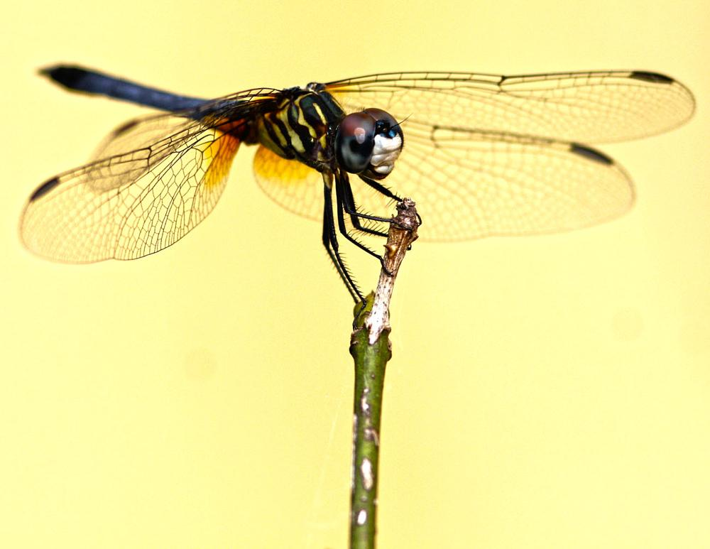 Photo in Macro #macro #insect #dragonfly #rose