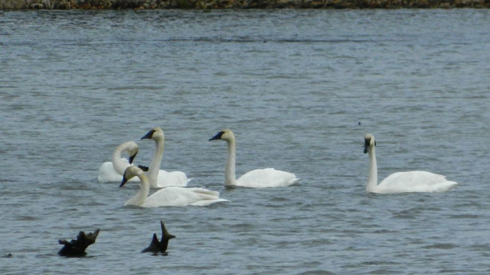 Photo in Nature #swans #autumn #birds #water #lake #landscape #nature