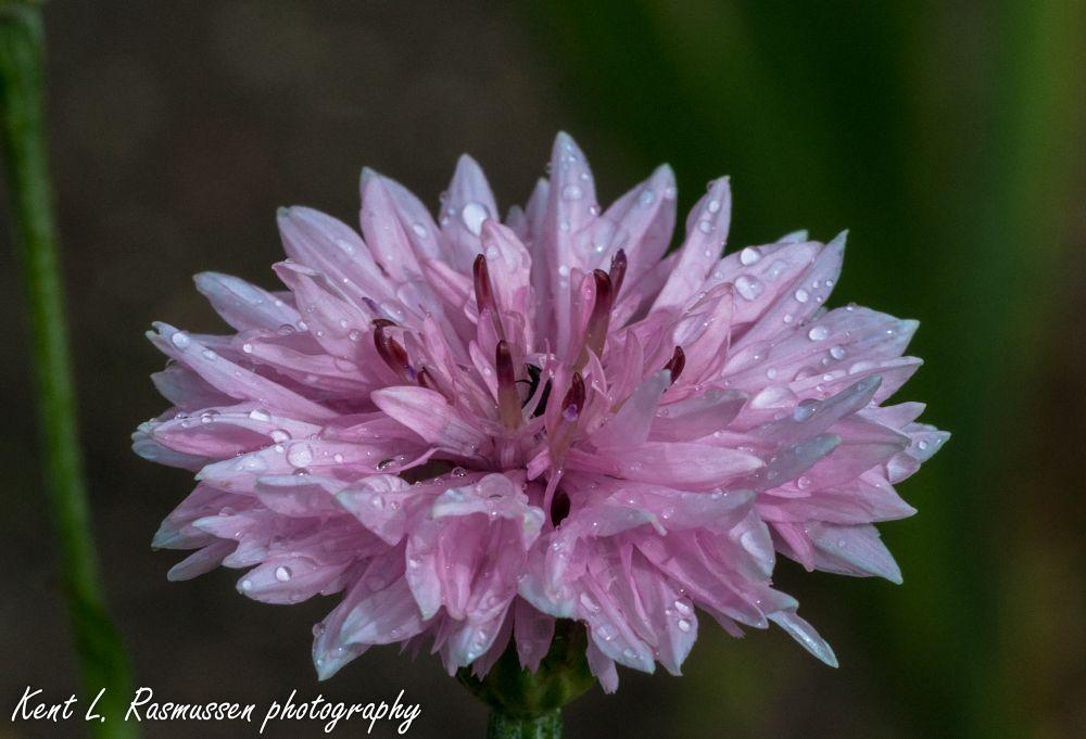 Photo in Macro #flower #pink #garden #nature #white #makro #nikon