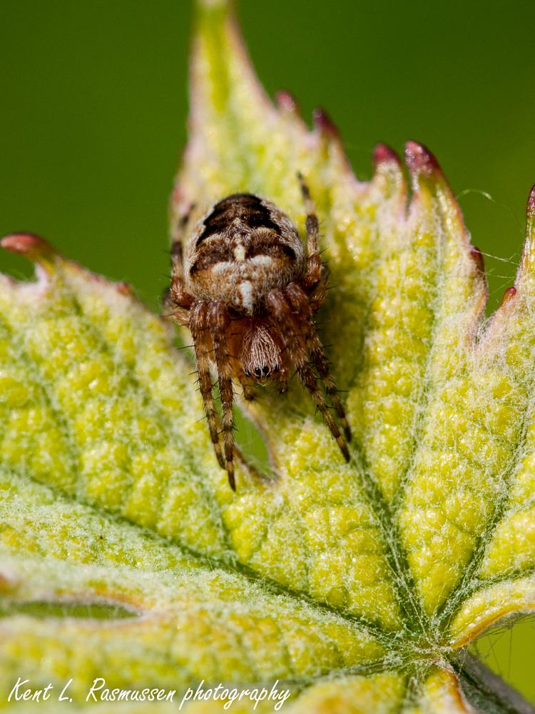 Photo in Macro #spider #cross #bug