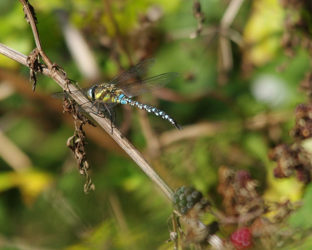Photo in Nature #hawker #dragonfly #migrant hawker #ivy lake