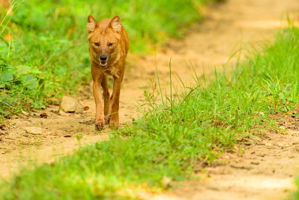 Photo in Random #dhole #kabini #asiatic wild dog #indian wild dog