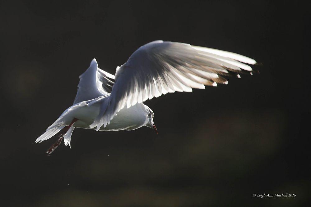 Photo in Nature #black headed gull #gull #bird #nature #animal #wildlife #scotland
