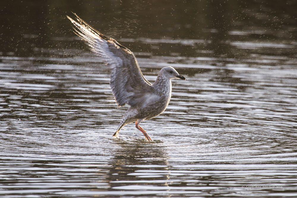 Photo in Nature #gull #bird #animal #nature #wildlife #scotland