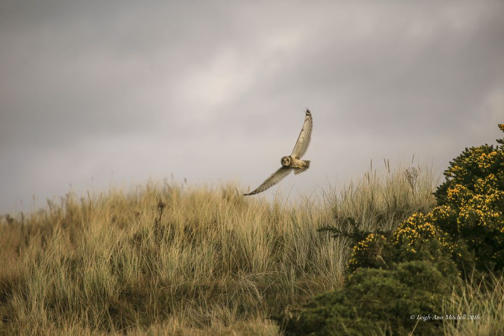 Photo in Nature #short eared owl #owl #nature #bird #animal #wildlife #scotland