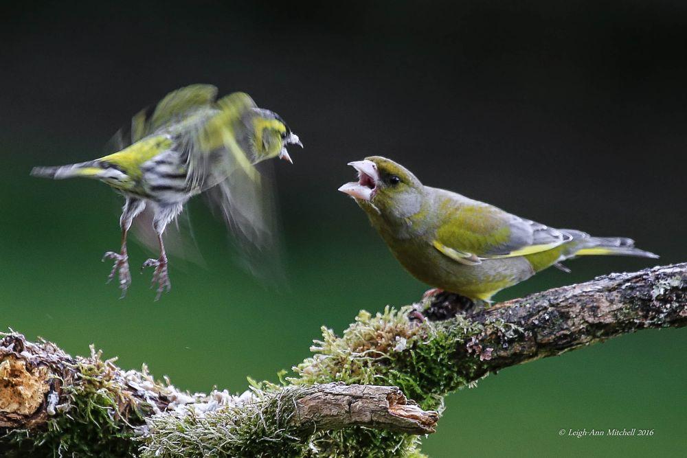 Photo in Nature #siskin #greenfinch #birds #garden bird #animal #wildlife #scotland #uk