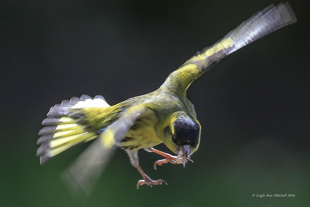 Photo in Nature #siskin #bird #nature #garden bird #animal #wildlife #scotland #uk