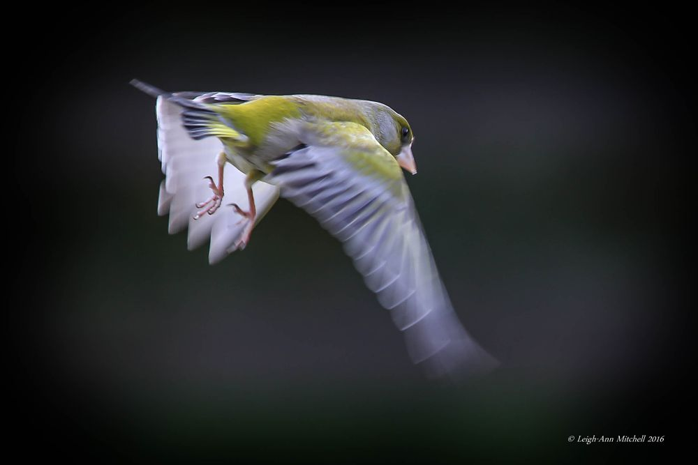Photo in Nature #greenfinch #bird #garden bird #animal #wildlife #nature #scotland #uk #wings #flight