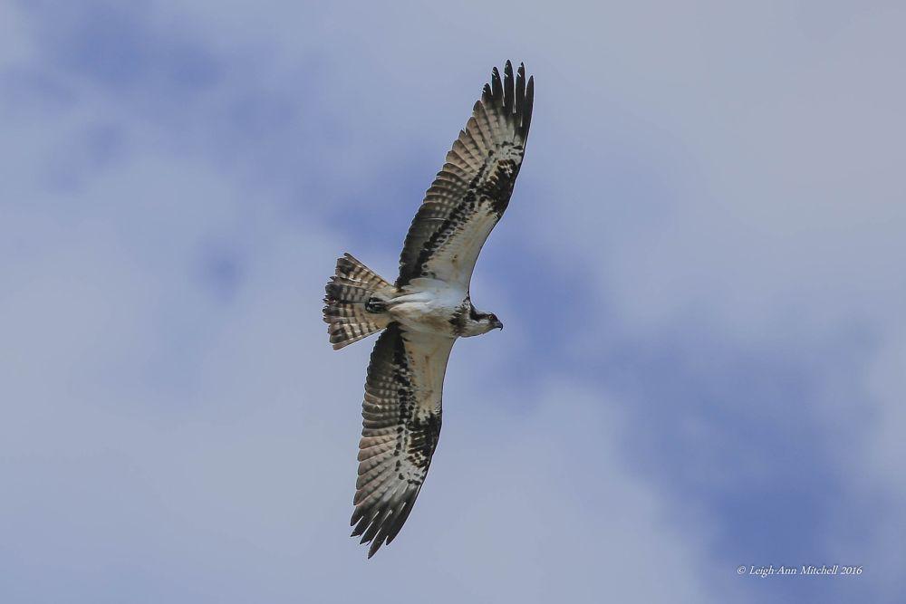 Photo in Nature #osprey #wildlife #bird #animal #wings #feathers #bird of prey #scotland #uk #nature