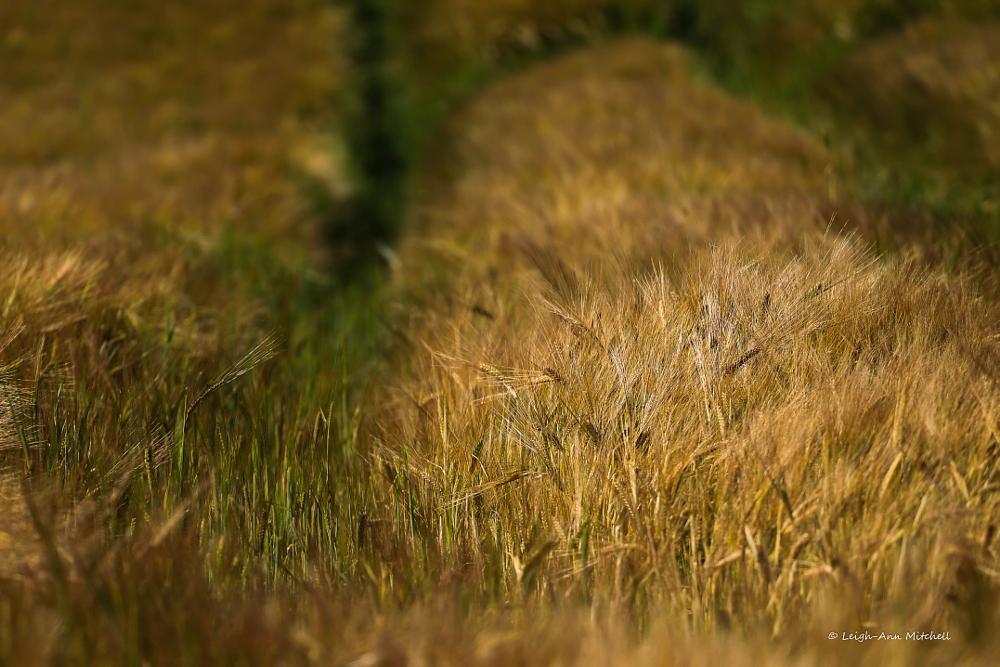 Photo in Rural #barley #farming #agriculture #crops #rural