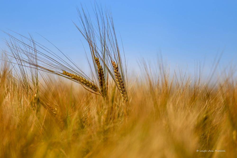 Photo in Rural #barley #feild #golden #farming #agriculture #rural #farmland #crops