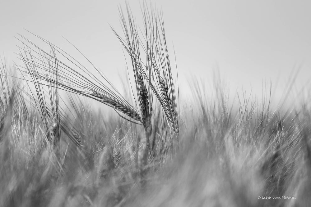 Photo in Rural #barley #grain #farming #agriculture #rural #crops