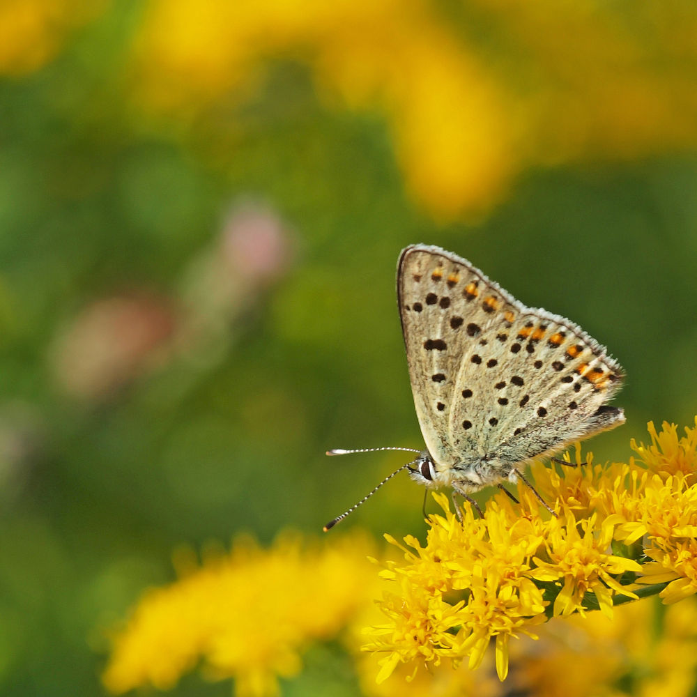 Photo in Macro #vlinder #butterfly #olympus #e620 #105mm #macro #close-up #nature #holland