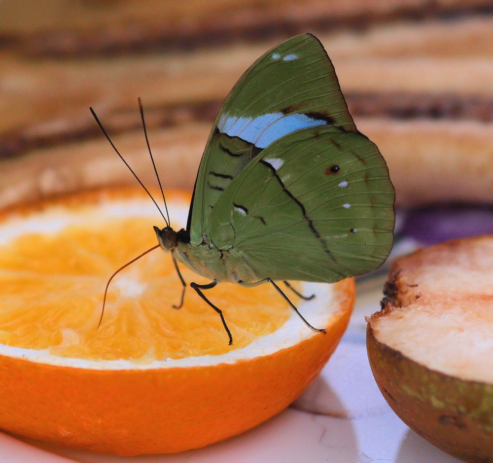 Photo in Macro #luttelgeest #orchideenhoeve #vlinder #vlindertuin #butterflygarden