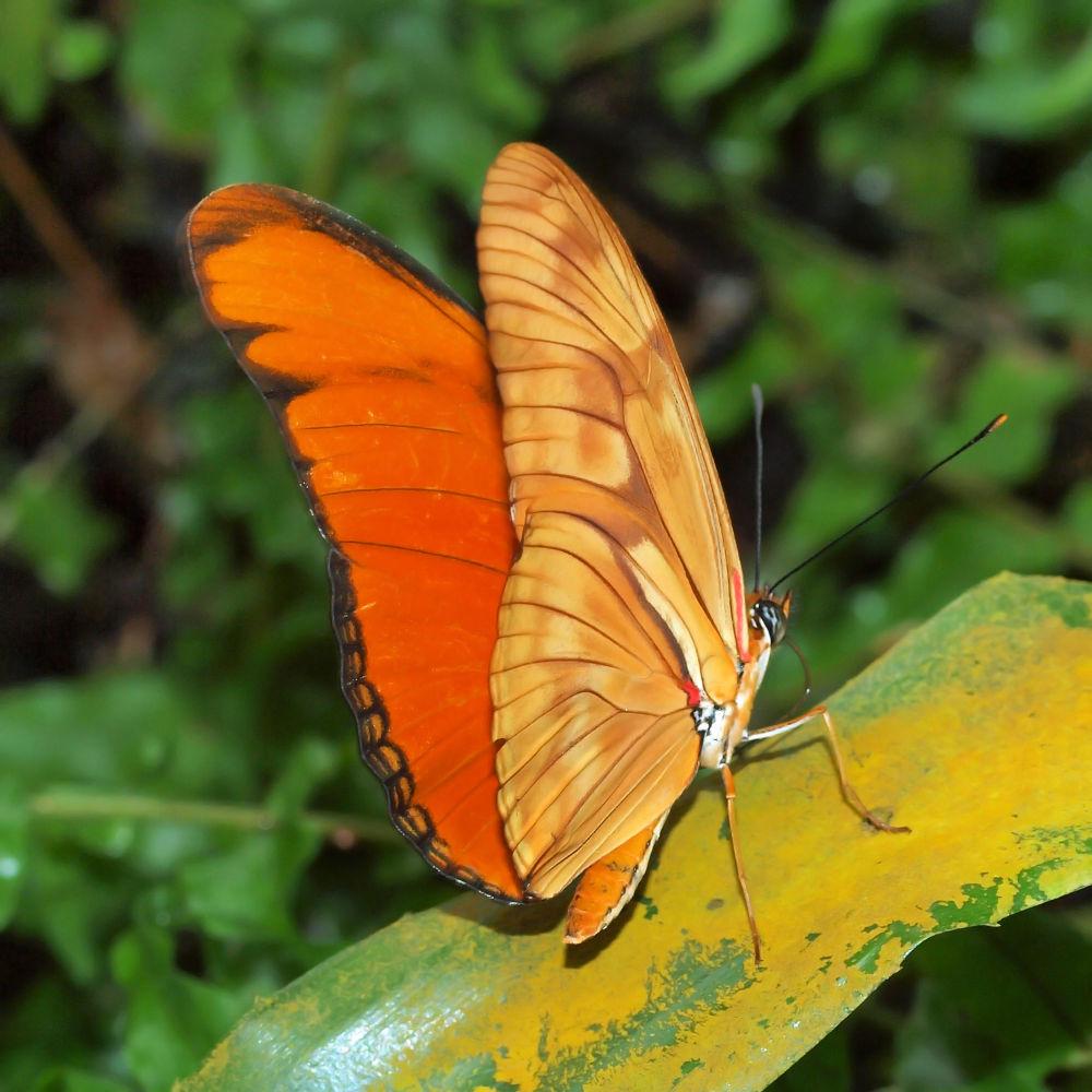 Photo in Macro #macro #close-up #dierentuin #vlindertuin #emmen #vlinder #butterfly #passiebloemvlinder