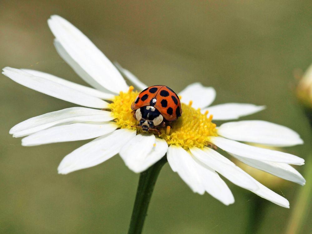 Photo in Random #ladybug #lieveheersbeestje #tor #olympus #rooddrops #stippen #close-up #bloem #flower #margriet