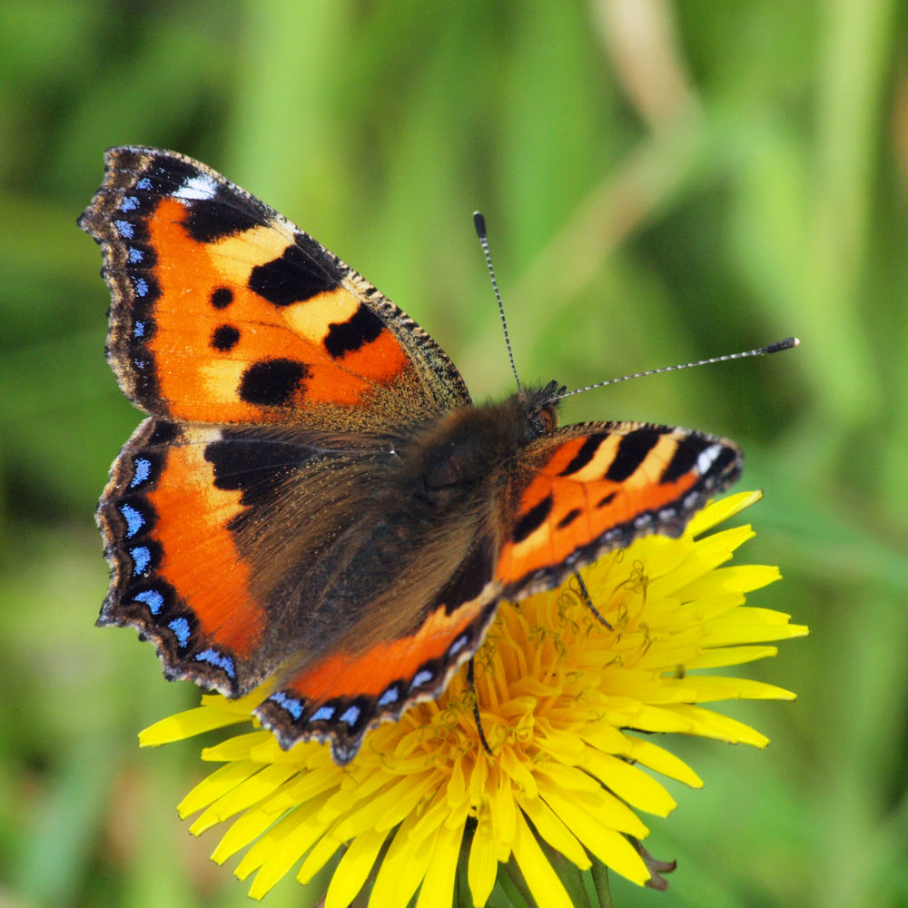 Photo in Macro #vlinder #butterfly #close-up #summer #70-300mm