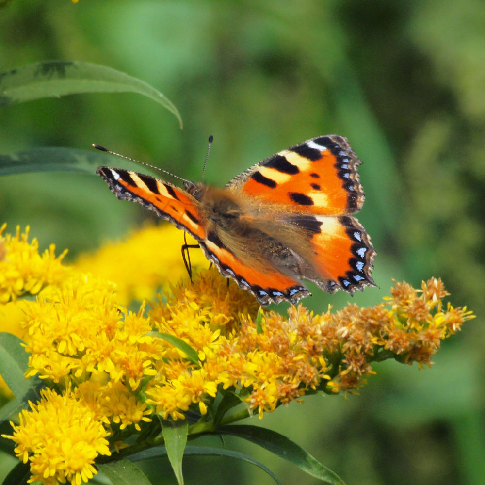 Photo in Macro #vlinder #butterfly #70-300mm #olympus #zomer #summer