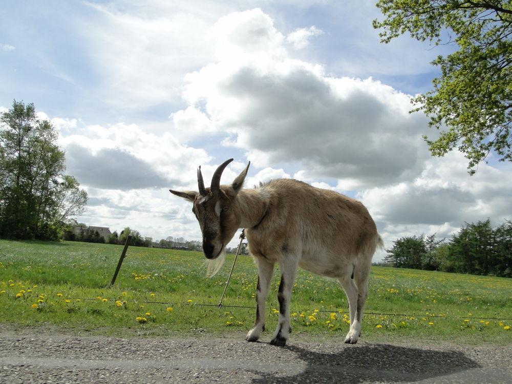 Photo in Random #goat #geit #dier #animal #farm #boerderij