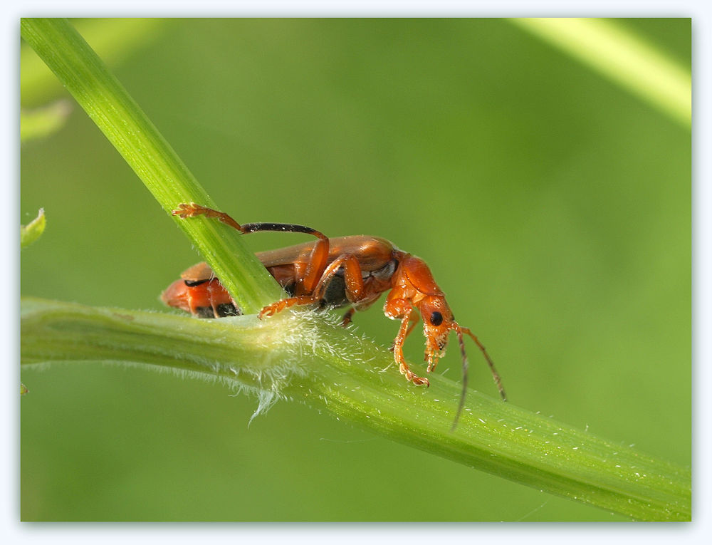 Photo in Macro #insect #close-up #holldand #red soldier