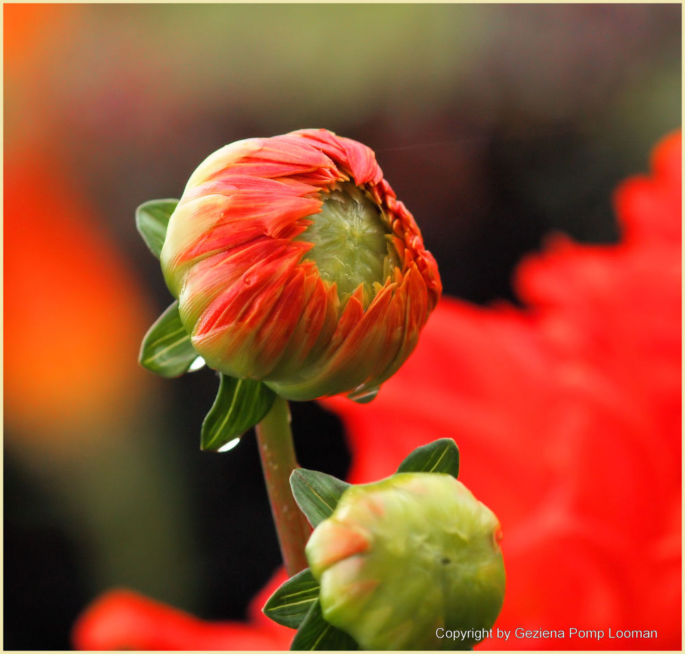 Photo in Random #flower #bloem #dahlia #red #rood