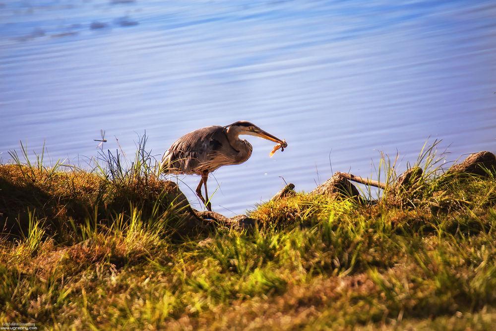 Photo in Animal #fish #heron #wildlife #prey