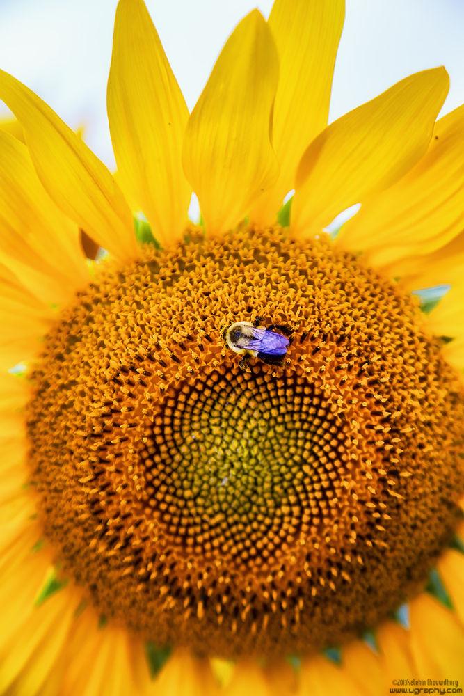 Photo in Nature #sunflower #wasp #flower #yellow #nature