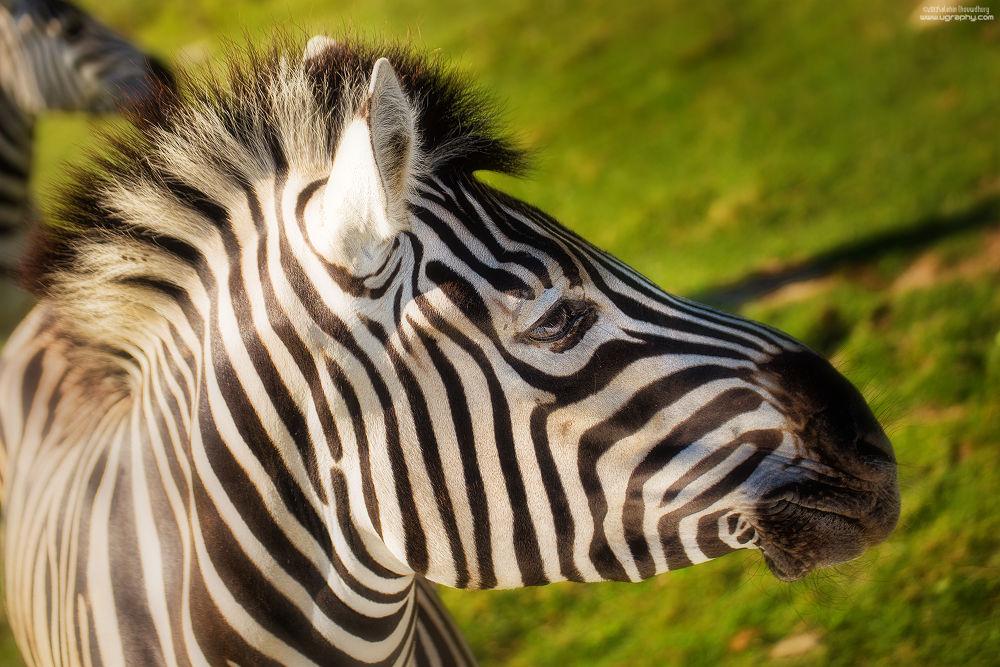 Photo in Animal #zebra #animal #nature #stripe