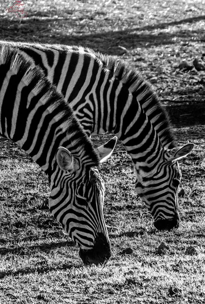 Photo in Animal #morocco #rabat #zoo #blackandwhite #zebre #zebra #lignes