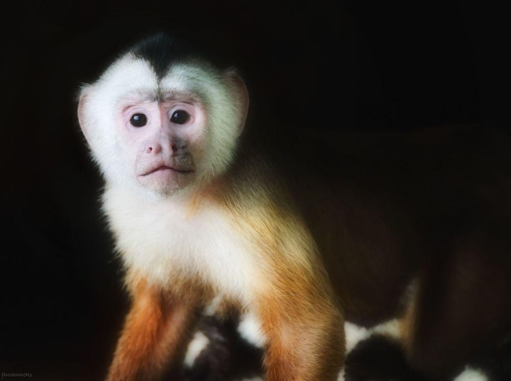 Photo in Family #monkey #capuchin #animal
