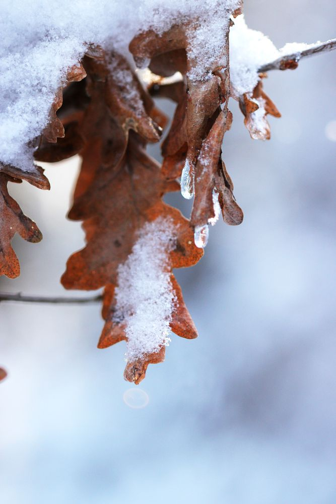 Photo in Nature #winter #snow #forest #leaf #oak #frost