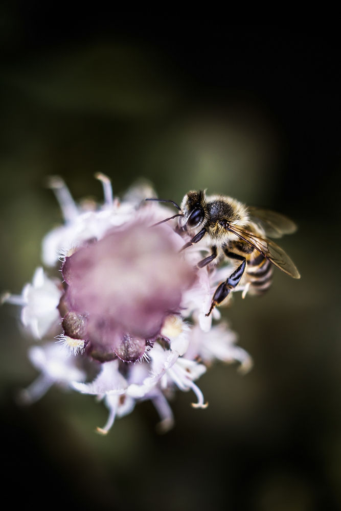 Photo in Macro #bee #macro #rose