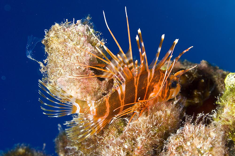 Photo in Underwater #hawaiian red lionfish #pterois sphex #nohu pinao