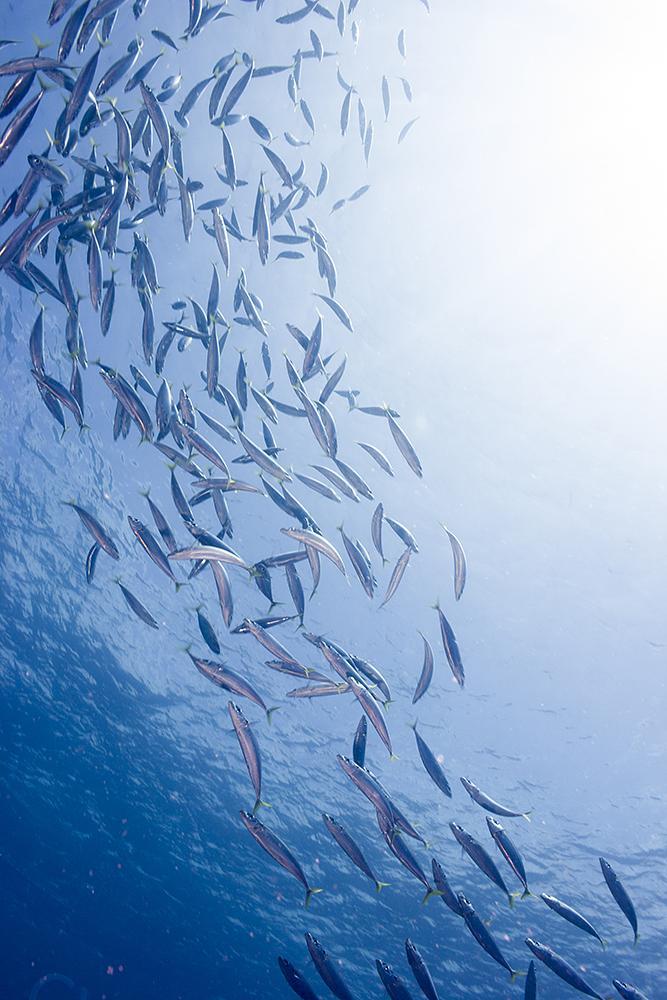 Photo in Underwater #sardines #herklotichthys quadrimaculatus #bait ball