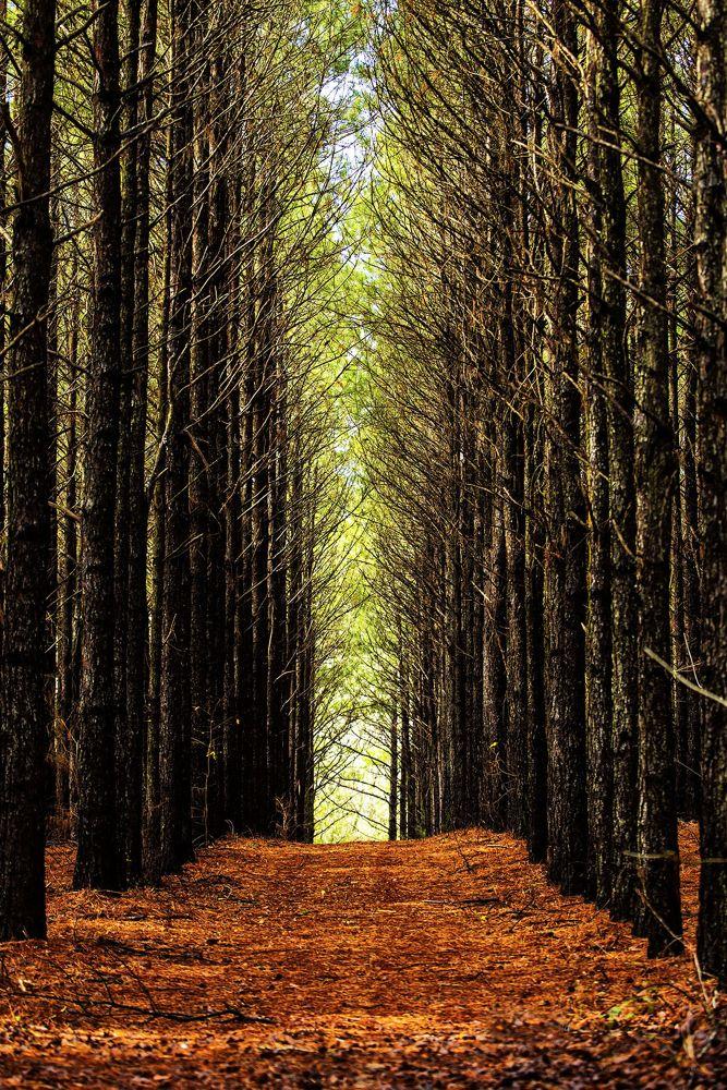 Photo in Random #forest #pine trees #pine straw