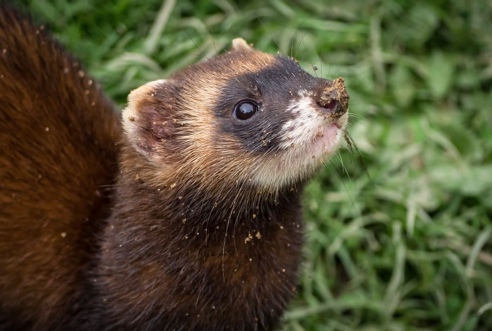 Photo in Nature #dirty #polecat #digging #grass